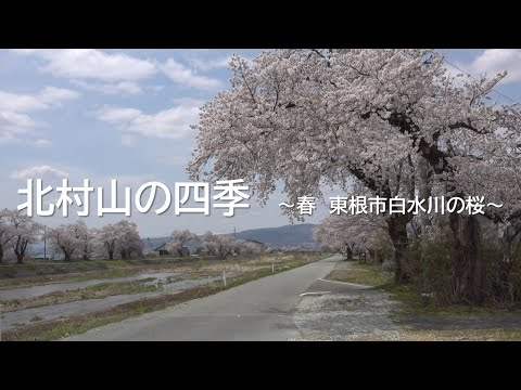 北村山の四季 ~春 東根市白水川の桜~